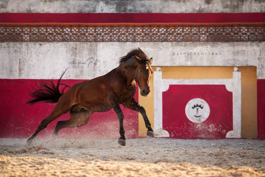 Fotoevent Portugal Freilauf Lusitano Academy bockend