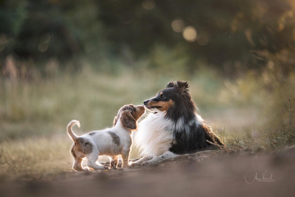 Shetland Sheepdog Denny und Dackelwelpe Zaro