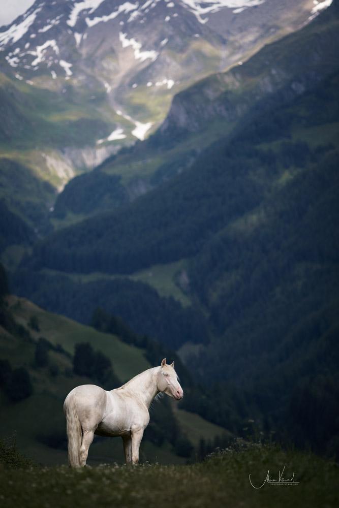 Spanier Hengst vor den Tiroler Alpen