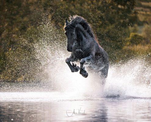Freilauf im Wasser, Pferdefotografie Würzburg, Action, Friese, Schwimmen mit Pferd