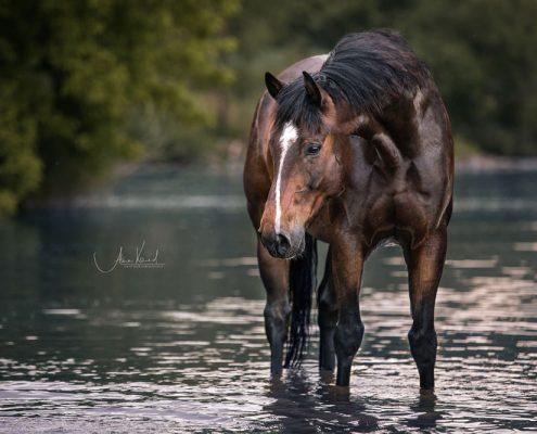 Freilauf im Wasser, Pferdefotografie Würzburg, Action, Warmblut, Schwimmen mit Pferd