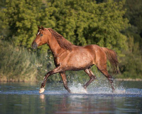 Freilauf im Wasser, Pferdefotografie Würzburg, Action, Araber, Schwimmen mit Pferd