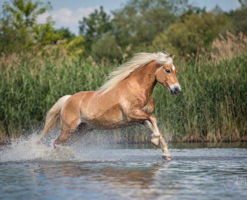 Freilauf im Wasser, Pferdefotografie Würzburg, Action, Haflinger, Schwimmen mit Pferd
