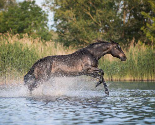 Freilauf im Wasser, Pferdefotografie Würzburg, Action, Quater Horse, Schwimmen mit Pferd