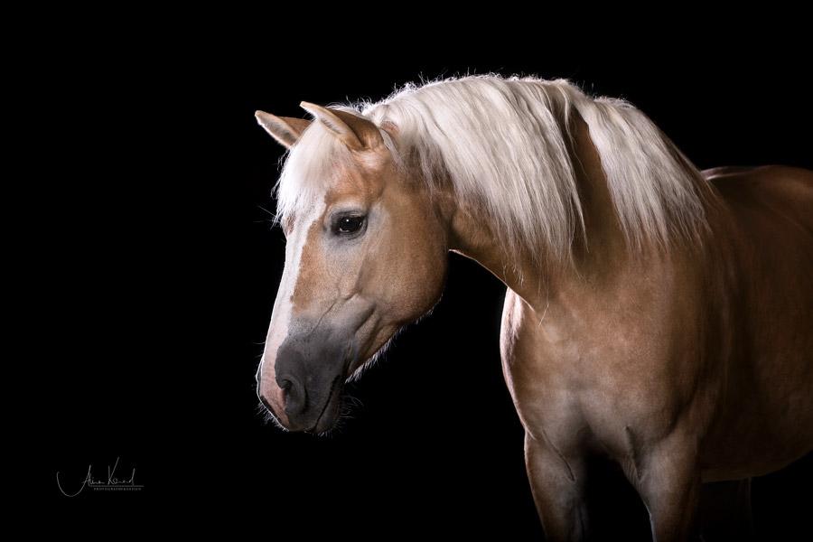 Studioshooting mit Pferd - Alisa Konrad - für Fotoshootings und Coachings