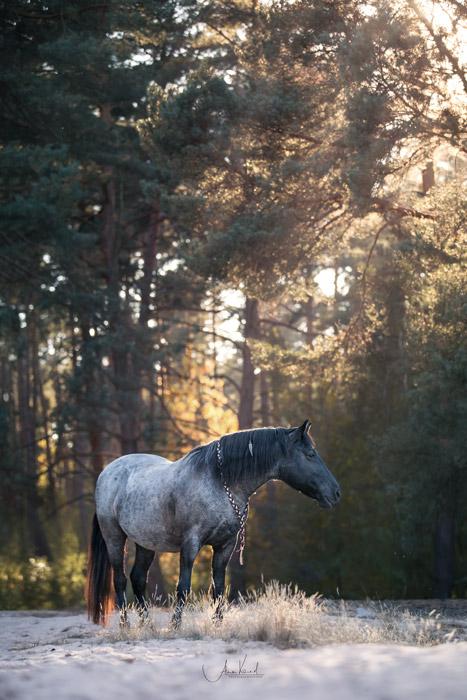 Rocky Mountain Horse by Alisa Konrad Pferdefotografie