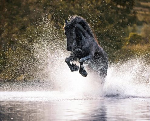 Pferdefotografie Freilauf im Wasser in Würzburg in Bayern