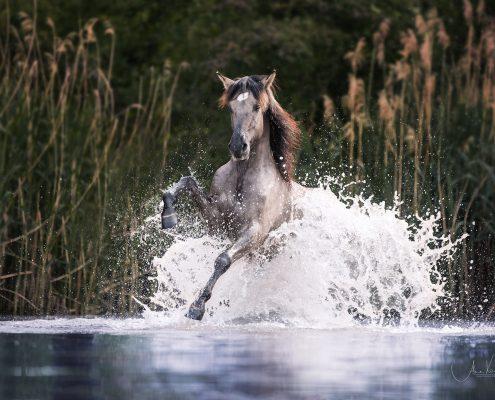 Fotoevent Freilauf im Wasser, Portfoliotag Pferdefotografie, Pferde fotografieren, Workshop Pferde im Freilauf, Sorraia
